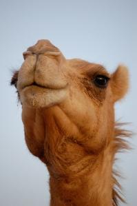 proud camel