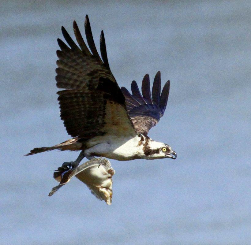 Osprey flounder