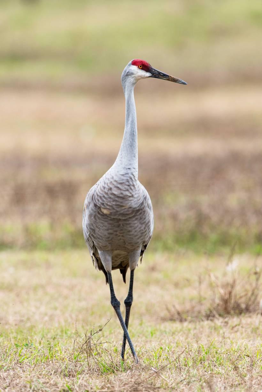 A sandhill crane
